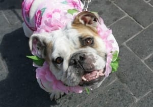 A bulldog wearing a dress